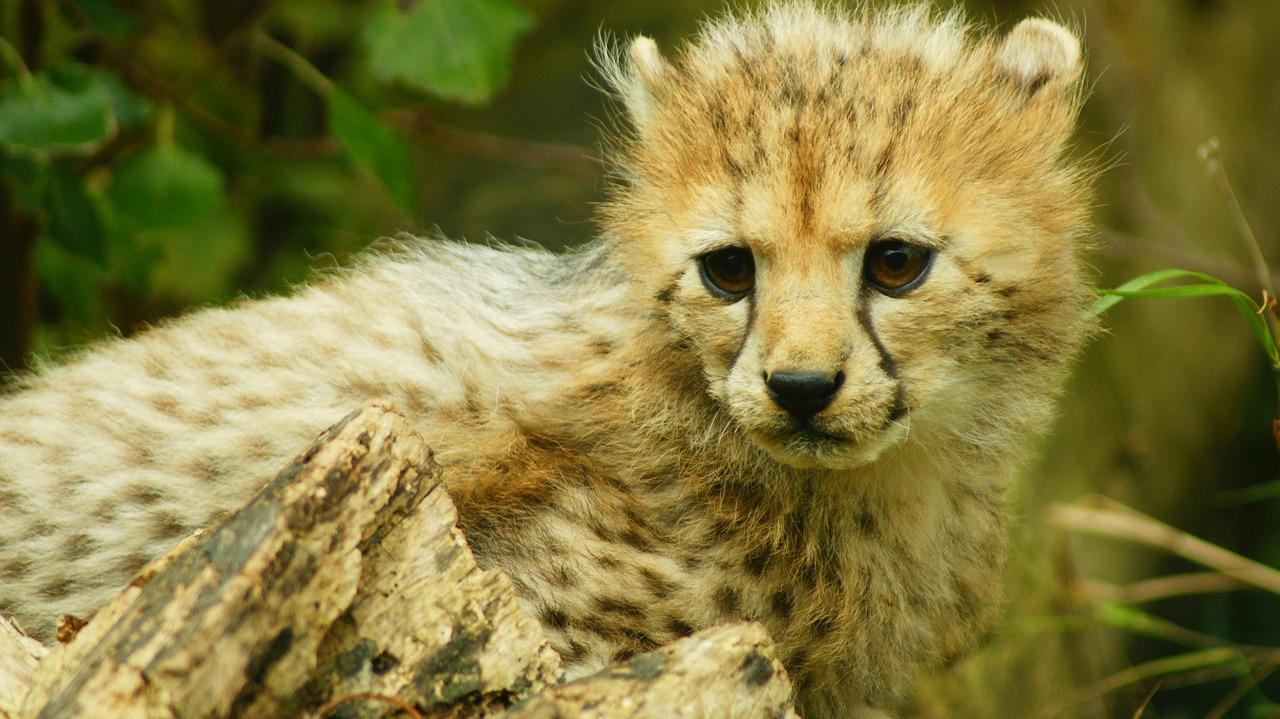 gepard mlade
