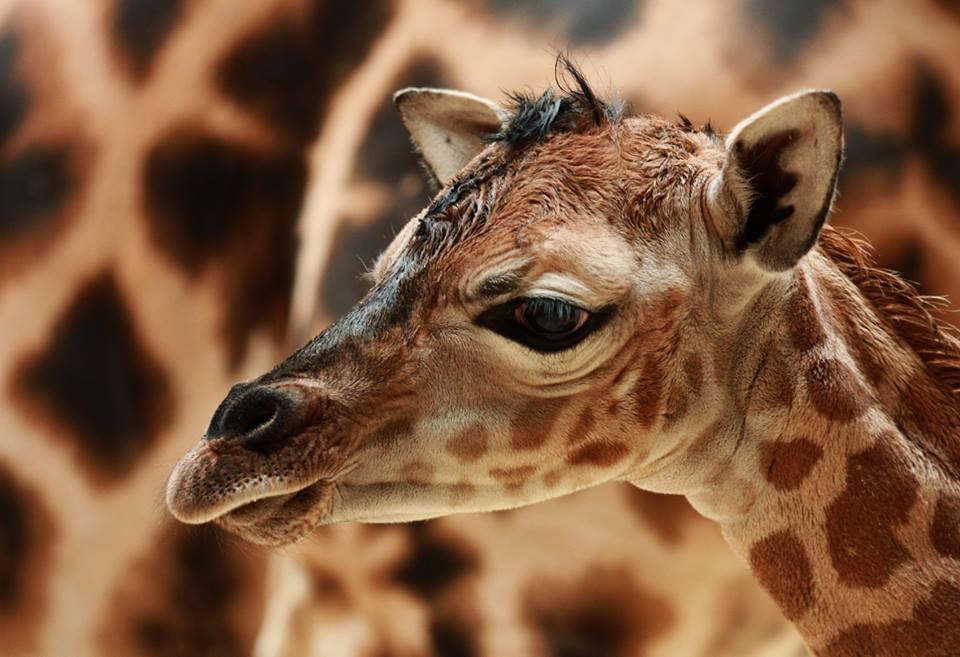 Nový přírůstek v ZOO Liberec-žirafa Anastasia